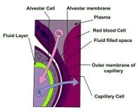 Célula alveolar Imagen de archivo libre de regalías