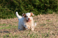 Clumber spaniel running Stock Photography