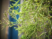 Clumby  Mistletoe  Cactus, Rhipsalis, Epiphytic plant, is a popular plant grown ornamental garden hanging. Cactus Mistletoe Clover, Rhipsalis , Epiphytic stock images