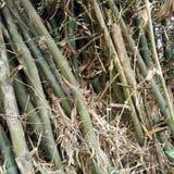 Clump of bamboo Stock Photo