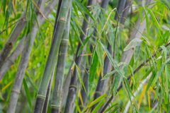 Clump black bamboo. Is species that are rare. Green bamboo background in nature Stock Images