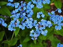 Blue forget-me-knot flowers in spring stock photos