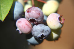 Clump Of Blueberries Stock Photos