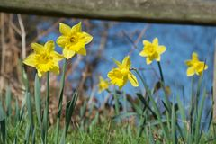 A clump of bright yellow daffodils on green stems in vivid sunlight in front of wooden fence royalty free stock photography