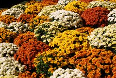 Clump of chrysanthemums. 