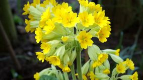 Clump of Cowslips in the wild. stock video