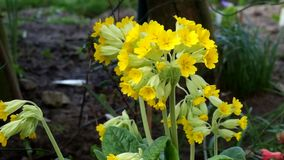 Clump of Cowslips in the wild. stock video footage