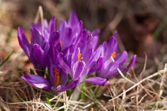 A clump of Crocus Royalty Free Stock Images