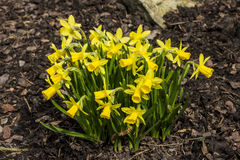 Clump of daffodils. On the background of the bark stock photography
