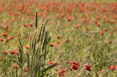 Clump of ears of grain, on a blurred background field of poppies Royalty Free Stock Photography