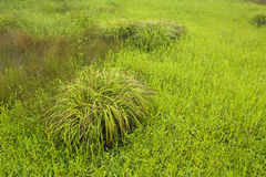 Clump of grass in field. Royalty Free Stock Photography