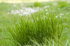 Clump of grass in meadow of daisies Stock Photography