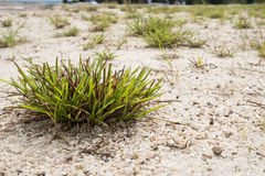 Clump of grass. On the sand Royalty Free Stock Photo