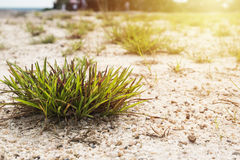Clump of grass on the sand. In morning sun Stock Photography