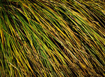 Clump of grass texture Stock Image