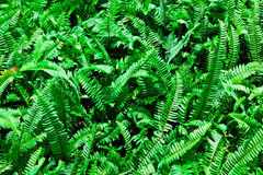 The clump of the green fern Royalty Free Stock Photo