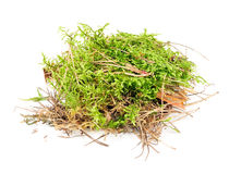 Clump of Green Moss Stock Image