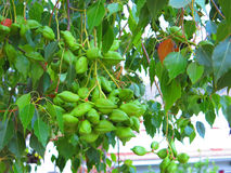 Clump of green seedpods on unknown tree Stock Photos