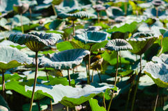 Clump of Lotus Leaves. Stock Photo