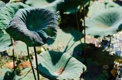 Clump of Lotus Leaves. Clump of Lotus Leaves In Natural Pond Stock Photo