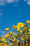 Clump Maxican Sunflower Weed with bluesky Stock Photo