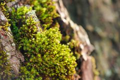 Clump of Moss Close-Up royalty free stock photo