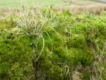 Clump of moss and Grasses. A bright green clump of moss ferns and grasses Stock Photos