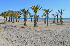 A Clump Of Palm Trees - Beach Oasis Stock Photography