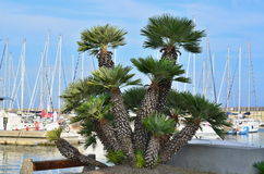 Clump of palm trees at the ship's port of Santo Stefano al Mare Royalty Free Stock Photos