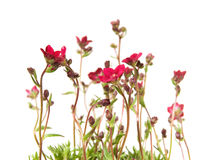 Clump of Red Saxifrage Stock Photography