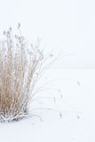 Clump of reeds Royalty Free Stock Photos