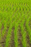 Clump of rice in Chomthong , Chiangmai Thailand Stock Image