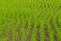 Clump of rice in Chomthong , Chiangmai Thailand Royalty Free Stock Photos