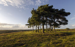 Clump of Scots Pine Trees. Robin hoods clump a group of Scots Pine trees in the New Forest planted on top of a Neolithic disc barrow Stock Image