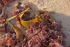 SEAWEED ON THE BEACH. Clump of seaweed lying on the beach Stock Images