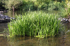 A clump of sedge in the water Stock Photography