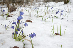 Clump of Siberian squill at the beginning of flowering Stock Images