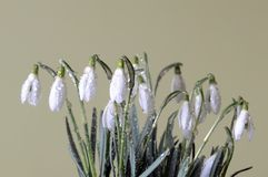 Clump of the snowdrops Stock Images