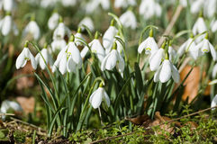 Clump of Snowdrops in Spring Royalty Free Stock Photography