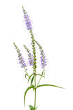 Clump speedwell flowers Stock Photography