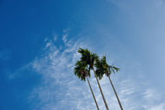 A clump of three betel nut trees Stock Photography