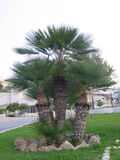 Clump of three palm trees Stock Image