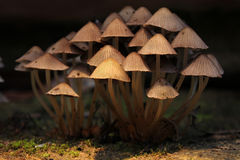 Clump of toadstools Royalty Free Stock Photography