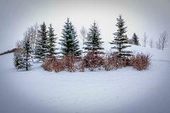 Clump of trees isolated in the stark snow Royalty Free Stock Photo