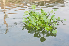 Clump of water hyacinth Royalty Free Stock Photos
