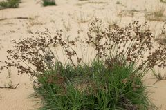Clump of Wilderness Grass on Sand Stock Photo