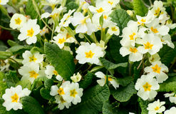 Clump of yellow primroses. Close up of a clump of yellow primroses royalty free stock photo