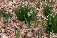 Clumps of daffodils and snowdrops in spring forest Stock Photos