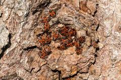 Clumps of firebug on the bark of a tree. Pyrrhocoris apterus Stock Photo