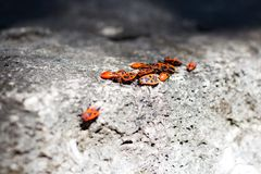 Clumps of firebug on a stone. In the summer Stock Photos